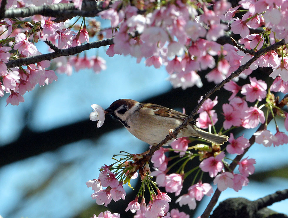 A sparrow holds a flower in its mouth on a fully bloomed cherry blossom tree in Tokyo on March 21, 2013. Viewing cherry blossoms is a national pastime and cultural event in Japan, where millions of people turn out to admire them annually. Japan's weather agency announced on March 16 the official beginning of cherry blossom season in Tokyo, equalling the record for the earliest ever start.    AFP PHOTO / Yoshikazu TSUNO        (Photo credit should read YOSHIKAZU TSUNO/AFP/Getty Images)