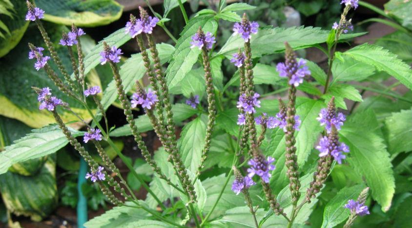 Verbena propriet come funziona e come si usa - Verbena pianta ...